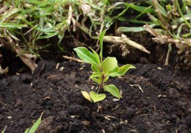 El norte de BCS tiene los mayores problemas de deforestación, por sequía: Conafor
