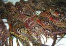 Dan 3 años de cárcel a pescadores furtivos de langosta, en Baja California Sur