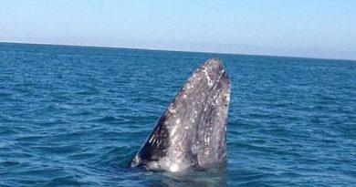 Registran la llegada de 48 ejemplares de ballena gris a al norte de BCS