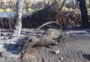 El incendió en San Ignacio no solo devasto palmares también arraso con la fauna.